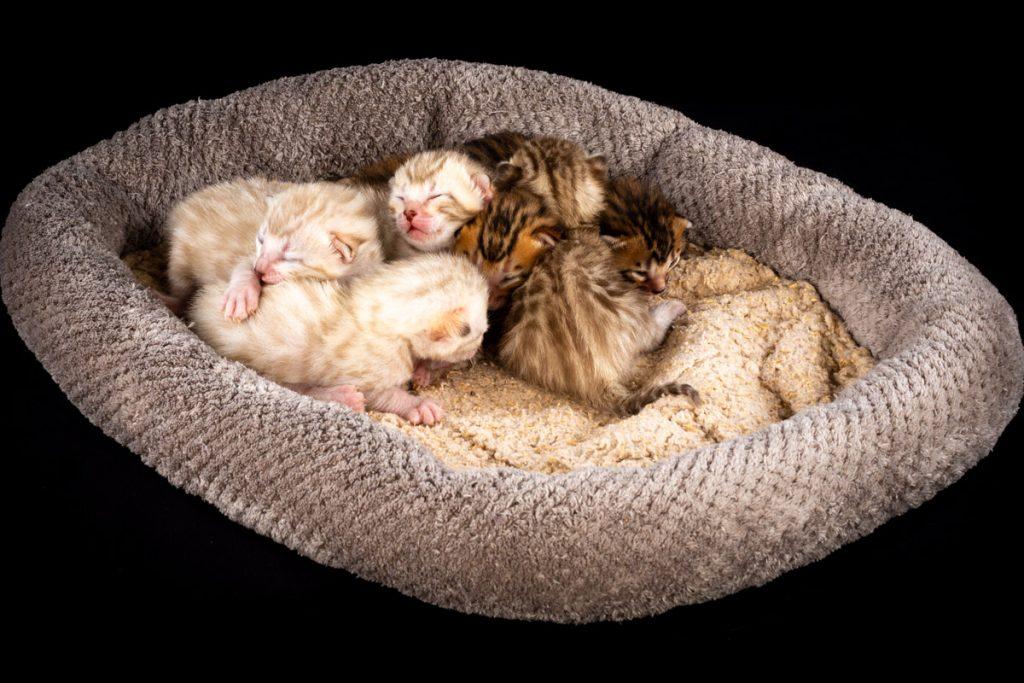 Adorable Bengal Babies